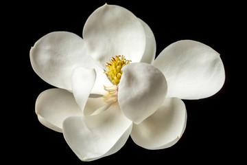Panel Szklany Do pokoju dziewczyny Magnolia Flower White Magnolias Floral Tree Flowers