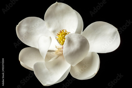 Photo sur Toile Magnolia Magnolia Flower White Magnolias Floral Tree Flowers