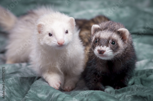 Fotografering  Cute brown and white ferrets.
