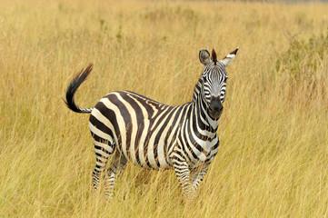 Fototapeta na wymiar Zebra on grassland in Africa