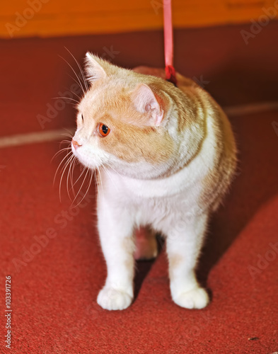 Fotografie, Obraz  Cute red Munchkin cat on a leash