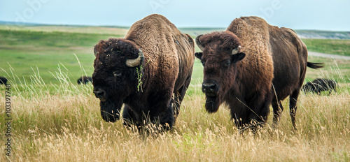 Deurstickers Bison Buffaloes