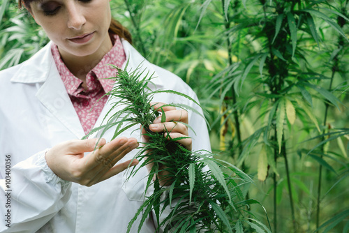Fotografia  Scientist checking hemp flowers