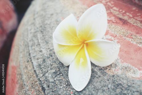 Wall Murals Plumeria White frangipani flower