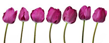 Dewy Purple Tulips Isolated On White Background