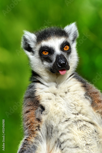 Photo  Portrait of a ring-tailed lemur (Lemur catta)