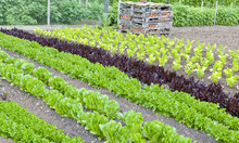 Rows Of Green, Red Lettuce And...