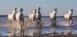 White Camargue Horses run in the swamps nature reserve. Parc Regional de Camargue. France. Provence. An excellent illustration