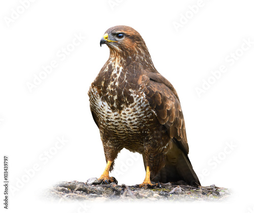 Common buzzard isolated on white Wall mural