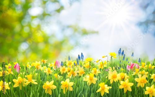 Osterglocken, Blumenwiese, Ostern, Frühling, Frühlingshintergrund, Garten