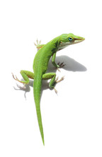Green Anole Lizard On White