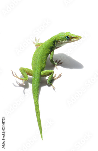 Photo  Green Anole Lizard on White