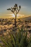Fototapeta Sawanna - Yucca with Joshua Tree Sun Set Desert Scene