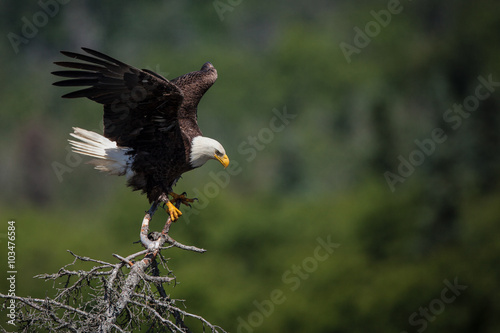 Bald Eagle - A bald eagle lands in a tree above Brooks Falls, Katmai National Park