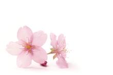 Japanese Cherry Blossom Flower...