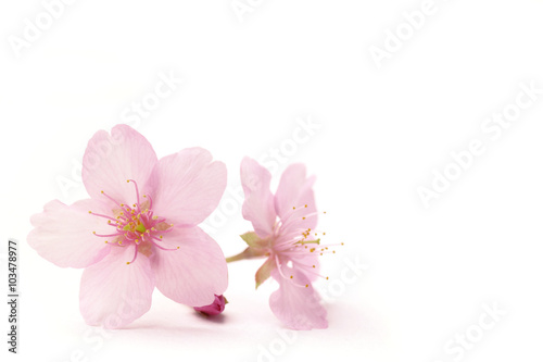 Japanese cherry blossom flowers in the white