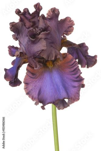 Photo sur Aluminium Iris iris
