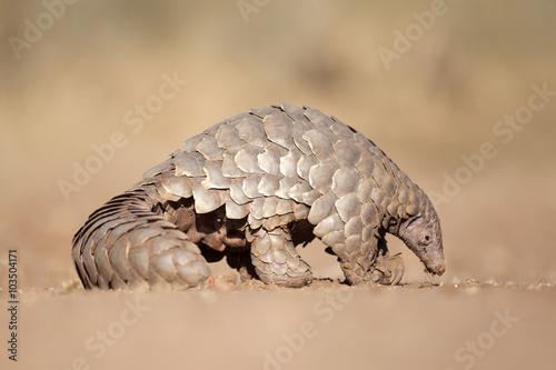 Fototapeten Afrika Pangolin digging for ants.