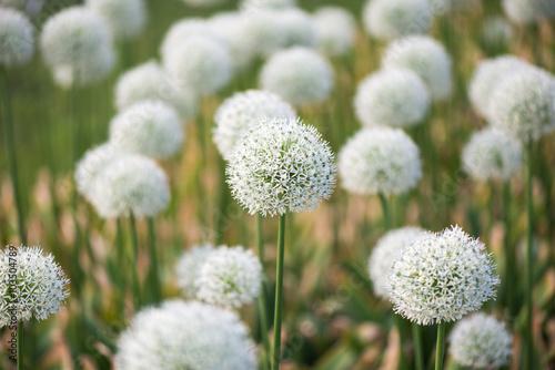 piekna-laka-z-kwiatami-bialego-allium