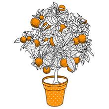 Citrus Tangerine, Orange Or Lemon Citrus Tree In A Pot In Contou