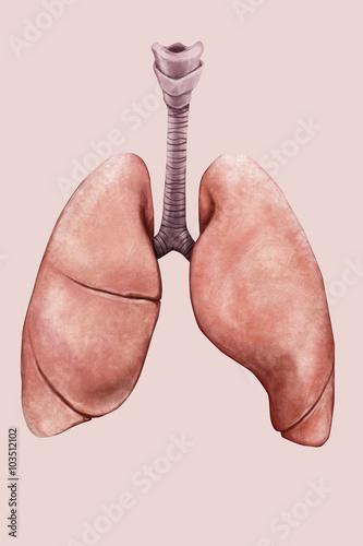 Fotografija  Illustrazione di polmoni e trachea