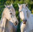 Portrait of two White Camargue horses. Parc Regional de Camargue. France. Provence. An excellent illustration