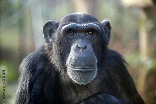 Male chimpanzee Fototapete