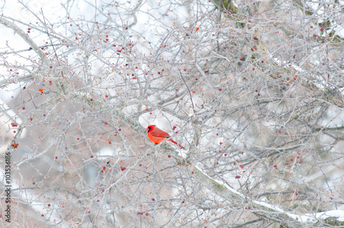 Photo  bright red cardinal bird sitting in a winter crab apple tree