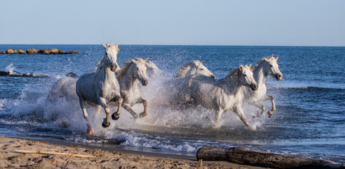 FototapetaWhite Camargue Horses galloping along the sea beach. Parc Regional de Camargue. France. Provence. An excellent illustration