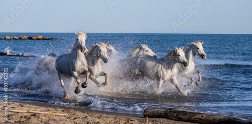 Fotografía  White Camargue Horses galloping along the sea beach