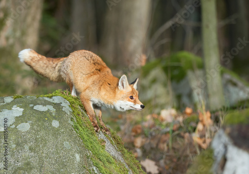 Red fox on the mossy rock, looking for food, Czech Republic, Europe