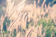 Grass Flower With Morning Sunlight