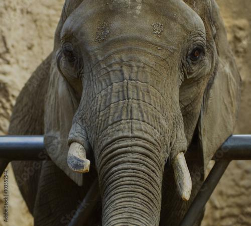 Foto auf Leinwand Der Elefant