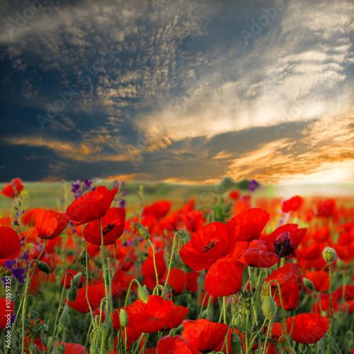 Fototapeta Field of poppies on a sunset obraz na płótnie