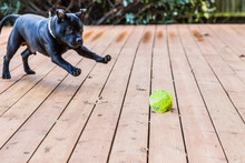 Staffordshire Bull Terrier Dog Playing With A Ball On Wooden Decking