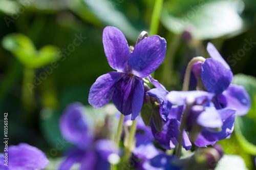viole,viola mammola