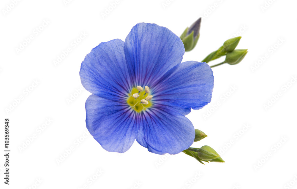 Fototapety, obrazy: Flower of flax isolated