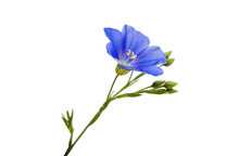 Flower Of Flax Isolated