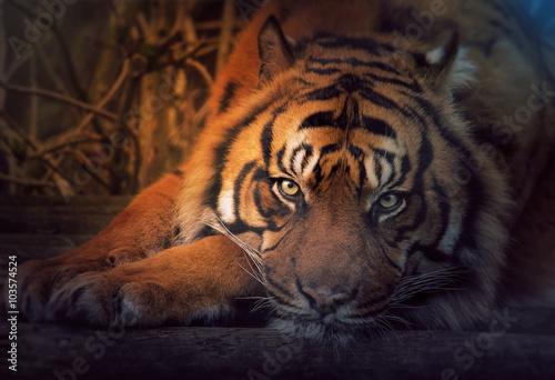 Foto auf AluDibond Tiger Resting tiger