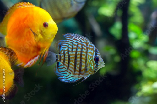 obraz lub plakat colorful sea fish in the aquarium