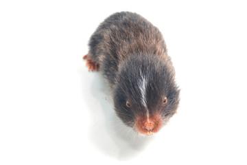 Mole, thailand, isolate on white background