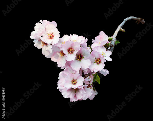 Pink almond blossom branch isolated on black плакат