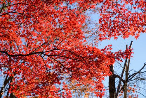 Keuken foto achterwand Rood paars Red maple leaf in mid autumn Japan