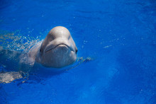 Beluga Whale (white Whale) In ...
