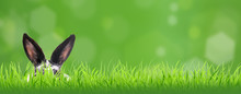 Hase Versteckt Im Gras
