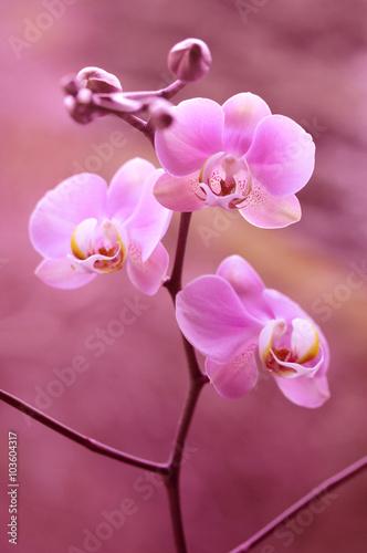 Fioletowy storczyk - orchidea - 103604317