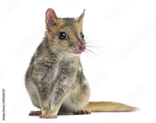 Quoll sitting, isolated on white Wall mural