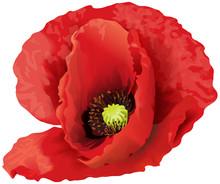 Big Red Poppy Flower.
