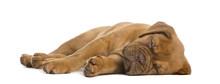 Dogue De Bordeaux Puppy Lying ...