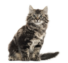 Maine Coon Kitten Sitting In Front Of A White Background